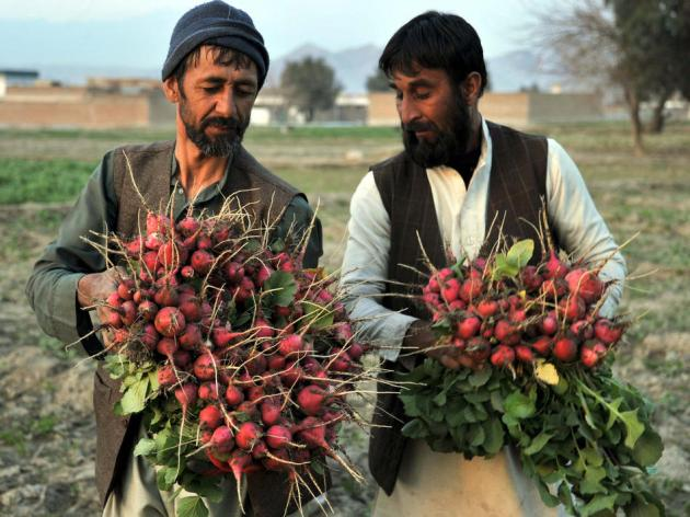 AFGHANISTAN-ECONOMY-AGRICULTURE