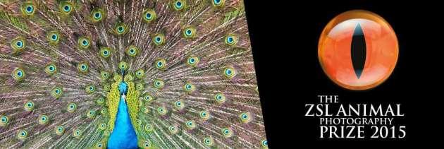 peacock-zapp