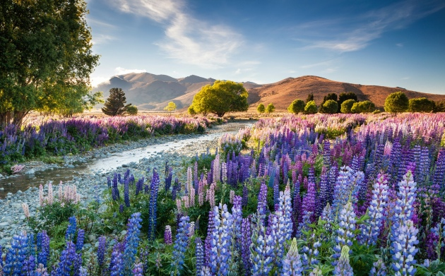 The overall winning entry was of Tekapo lupins taken by Richard Bloom Photograph: Richard Bloom/IGPOTY