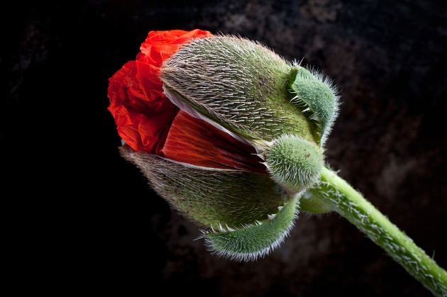 A close-up of a giant poppy by Stuart Hall Photograph: Stuart Hall/IGPOTY