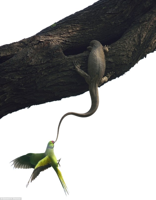 Indian photographer Ganesh H Shankar won the Birds category for capturing a rose-ringed parakeet kicking a Bengal monitor lizard out of its roosting hole, a campaign that lasted two days before the lizard squatter gave up