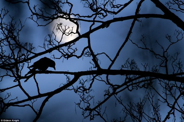 Gideon Knight, 16, from the UK, won the Young Wildlife Photographer of the Year title for his poetic image of a moonlit crow on a sycamore tree , a sight he described as reminding him of 'something out of a fairy tale'