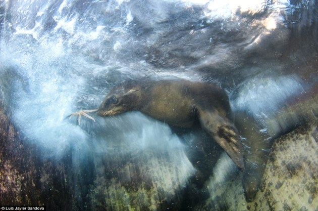 Luis Javier Sandoval, from Mexico, won the Impressions category for his tricky underwater photo of a playful California sea lion pup grabbing a starfish near shore break at sunrise in Espiritu Santo Island near La Paz Baja California Sur, Mexico