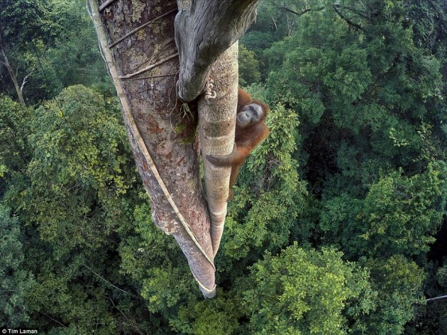 This image won the Natural History Museum's Wildlife Photographer of the Year 2016 award, and depicts an endangered young male orangutan climbing a 100-foot high tree in the Gunung Palung National Park, Indonesia