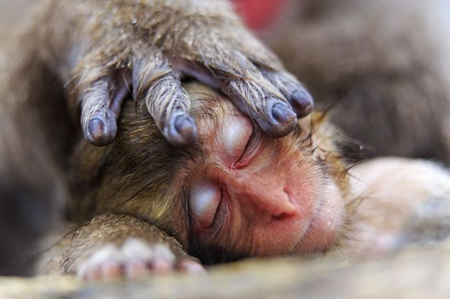 Alain Mafart Renodier was on a winter visit to Japan's Jigokudani Snow Monkey Park when he took this photograph of a sleeping baby Japanese macaque, its mother's hand covering its head protectively.A mother's hand Alain Mafart Renodier, France