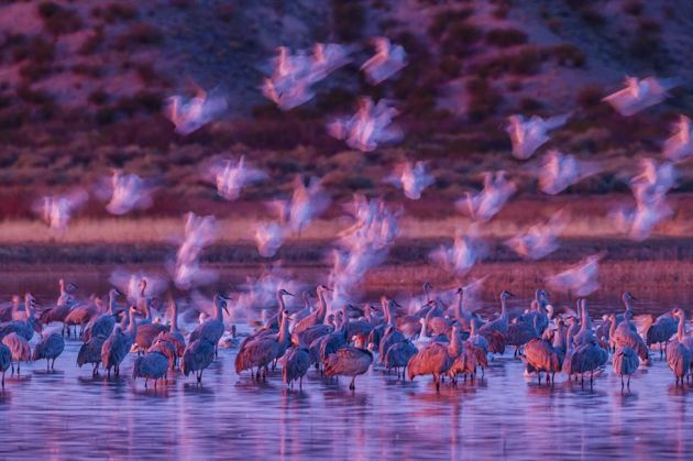 These snow geese almost seemed like ghosts in the pink early morning light as they landed among sandhill cranes in the Bosque del Apache National Wildlife Refuge, New Mexico, US.Ghostly snow geese Gordon Illg, US