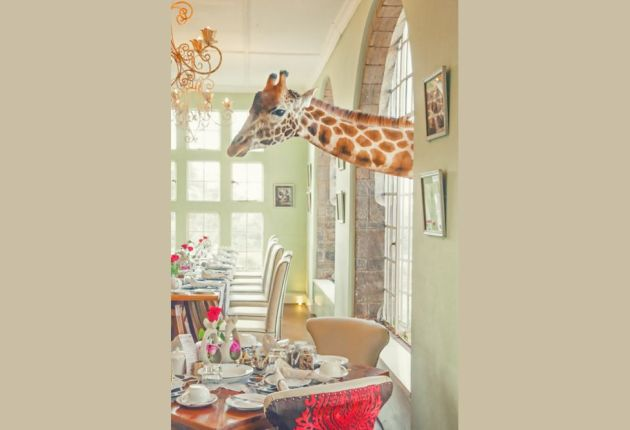 Shortly after purchasing the Giraffe Manor in Nairobi, Kenya, the owners learned that the only remaining Rothschild's giraffes in the country were at risk, as their sole habitat was being subdivided into smallholdings. So they began a breeding programme to reintroduce the Rothschild's giraffe into the wild. Today, guests can enjoy visits from resident giraffes in search of a treat.Breakfast time Cari Hill, New Zealand