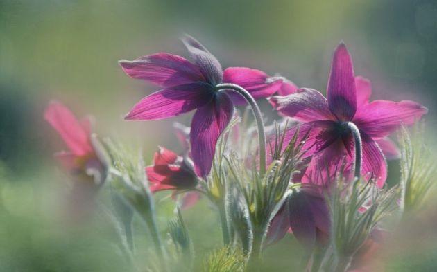 _99911278_'pasqueflower'byalisonstaite-176265
